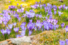fleurs de gentiane Images stock