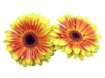 Fleurs de Gerbara, Photographie stock