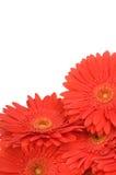 Fleurs de Gerber d'isolement sur le blanc Photographie stock