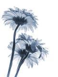 Fleurs de Gerbera d'isolement sur le fond blanc, bleu modifié la tonalité Photo stock