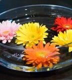 Fleurs de Gerbera de station thermale Photos stock