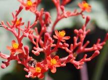 Fleurs de ginseng Photos libres de droits