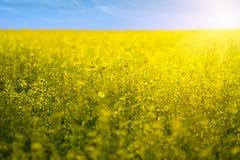 Fleurs de gisement de graine de colza en fleur Photos stock