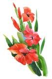 Fleurs de glaïeul de jardin d'aquarelle sur le fond blanc Photographie stock libre de droits