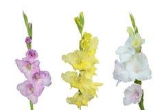 Fleurs de glaïeul de différentes couleurs d'isolement photographie stock libre de droits