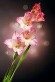 Fleurs de Gladiolus Photographie stock libre de droits