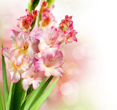 Fleurs de Gladiolus photo stock