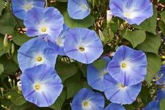 Fleurs de gloire de matin photographie stock libre de droits