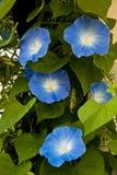 Fleurs de gloire de matin Images libres de droits