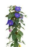 Fleurs de gloire de matin photographie stock