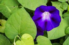 Fleurs de gloire de matin avec des baisses de l'eau Photo libre de droits