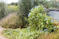 Fleurs de gloire de matin envahissant au barrage Image stock