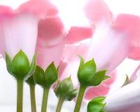 Fleurs de Gloxinia Photos libres de droits