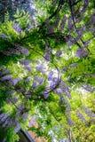 Fleurs de glycine Photographie stock libre de droits