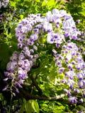 Fleurs de glycine contre les feuilles vertes Photo stock