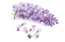Fleurs de glycine d'isolement images stock
