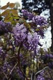 Fleurs de glycine en pleine floraison image stock