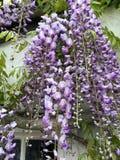 Fleurs de glycine par la fenêtre photo libre de droits