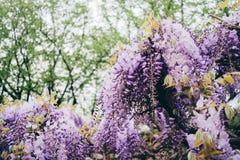 Fleurs de glycine pendant la floraison de ressort photos stock