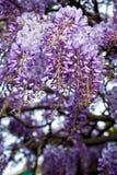 Fleurs de glycines Photographie stock libre de droits