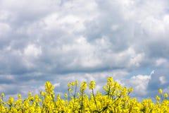 Fleurs de graine de colza Images libres de droits
