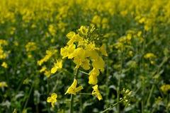 Fleurs de graine de colza Image stock