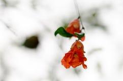 Fleurs de grenade photographie stock libre de droits