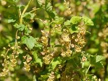 Fleurs/fleurs de groseille rouge Photos libres de droits