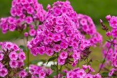 Fleurs de groupe de phlox Photo stock