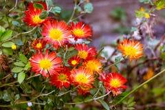 Fleurs de Helenium avec les pétales rouges et milieu jaune sur le flowerbed_ image libre de droits