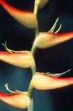 Fleurs de Heliconia Photo stock