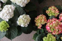 Fleurs de hortensia ou macrophylla roses et blanches d'hortensia, vue supérieure Photos stock