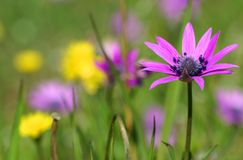 Fleurs de hortensis d'anémone au printemps photographie stock libre de droits