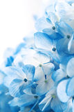Fleurs de Hydrangea Photo libre de droits