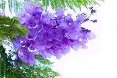Fleurs de Jacaranda images libres de droits