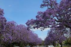 Fleurs de Jacaranda Photo libre de droits