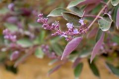 Fleurs de Jacaranda après pluie Images stock