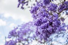 Fleurs de Jacaranda Botanique, nature photographie stock