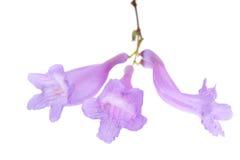 Fleurs de Jacaranda d'isolement Photographie stock libre de droits