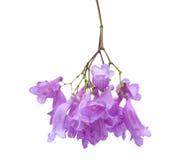 Fleurs de Jacaranda d'isolement Photographie stock