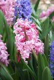 Fleurs de jacinthe Photographie stock libre de droits