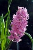 Fleurs de jacinthe photographie stock