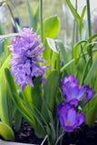 Fleurs de jacinthe Images stock