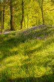 Fleurs de jacinthe des bois Photo libre de droits