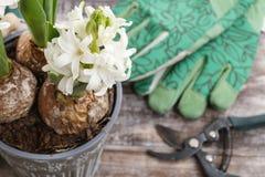 Fleurs de jacinthe et accessoires blancs de jardin Photos stock