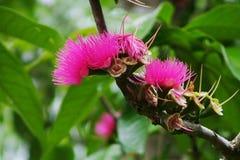 Fleurs de jamboses Image libre de droits