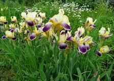Fleurs de jardin iris photographie stock libre de droits