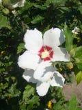 Fleurs de jardin ketmie Photographie stock