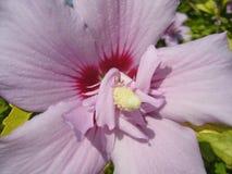 Fleurs de jardin ketmie image libre de droits