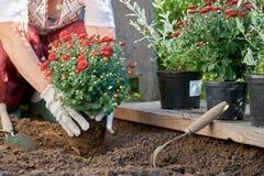 Fleurs de jardin planté par les gants blancs de port d'un jardin de femme Photographie stock libre de droits
